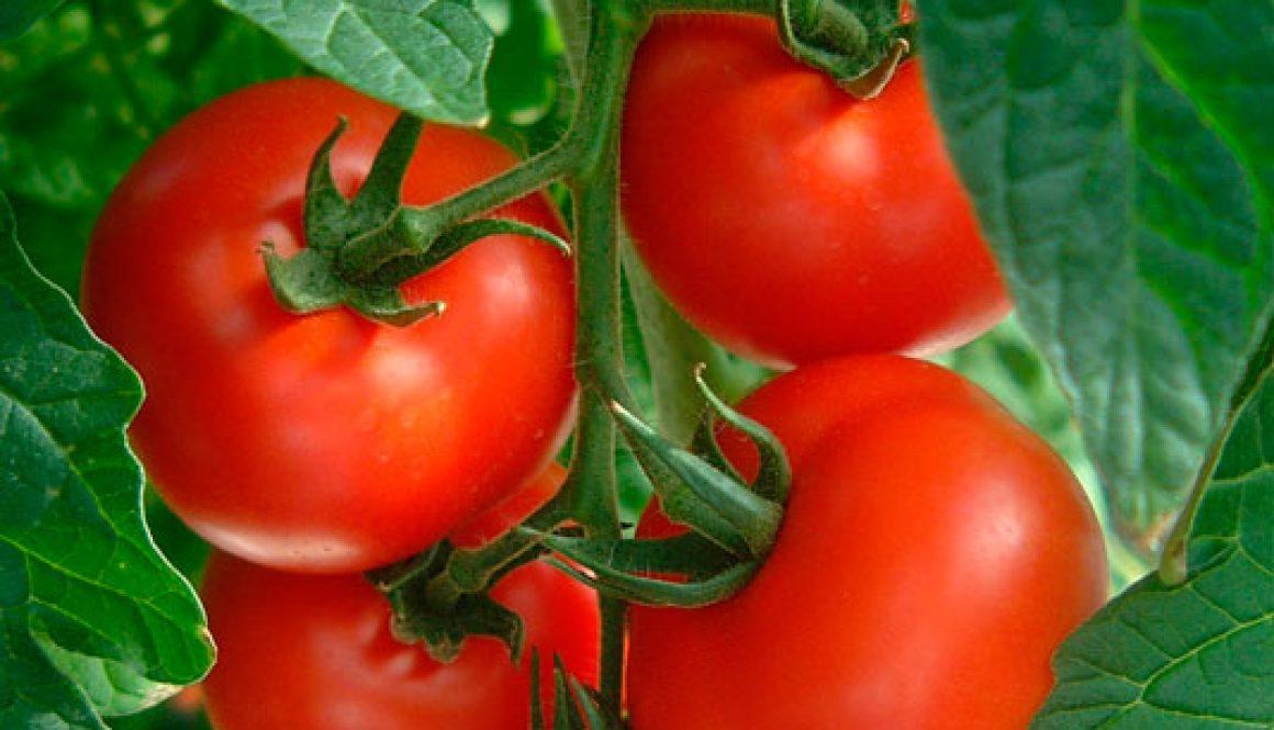 Vertical Veg Street Session – Tomato Jewels 22.6.16