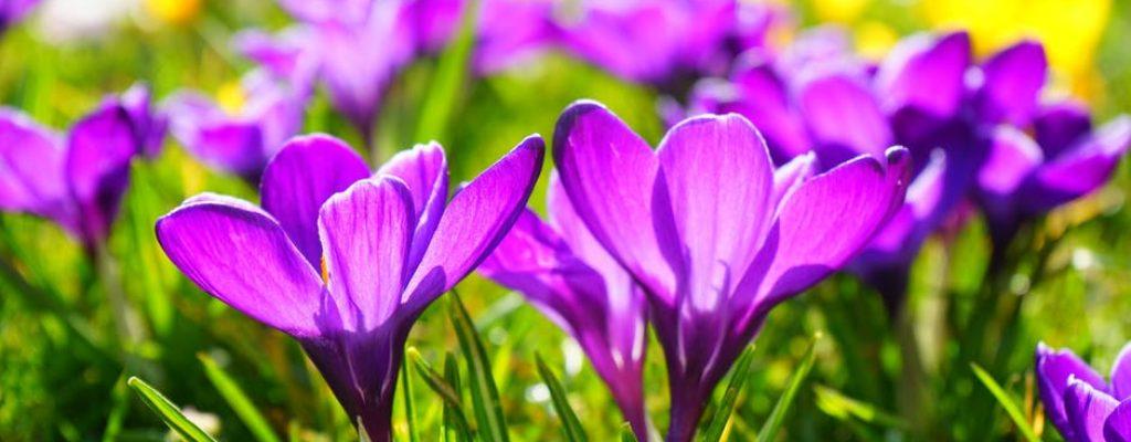 crocus-flower-spring-buhen-53595