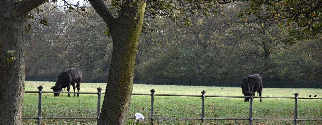 Nuns Moor Trees Cows