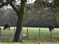 Nuns Moor Trees Cows